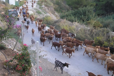 The local goatherd, Sebastian, bringing his little plant eating machines up the lane and past the villa - all 150 of them! Keep that gate shut!